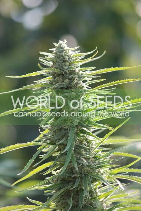 Sale of Colombian Gold from World of Seeds